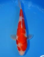 紅白 23cm