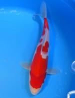 紅白 25cm