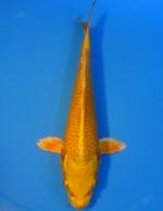 ゴールド 22cm