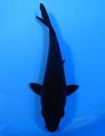 カラス鯉 15cm