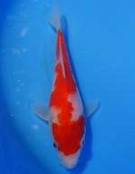 紅白 16cm