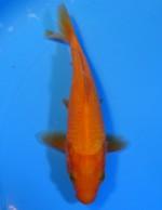 紅鯉 15cm