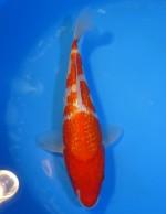 ダイヤ銀鱗 紅白 25cm