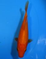 紅鯉 13cm