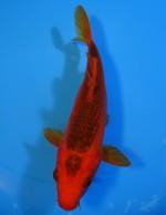 紅松葉 19cm