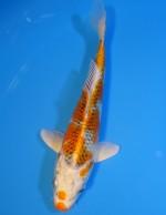 クジャク黄金 16cm