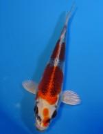 紅クジャク黄金 14cm