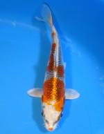 クジャク黄金 17cm