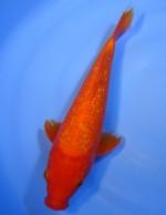ダイヤ銀鱗  紅鯉 28cm
