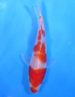 紅白 15cm