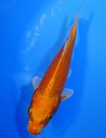 オレンジ黄金 18cm