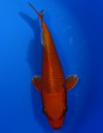 紅黄金 18cm