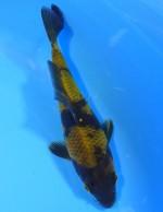 影黄写り 15cm