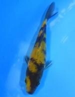 黄写り 13cm