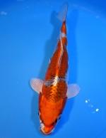 クジャク黄金 23cm