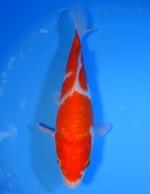 紅白 24cm